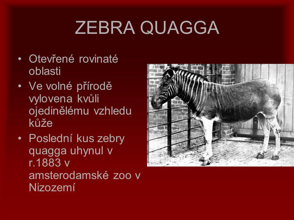 ZEBRA QUAGGA Otevřené rovinaté oblasti Ve volné přírodě vylovena kvůli ojedinělému vzhledu kůže Poslední kus zebry quagga uhynul v r.1883 v amsterodam