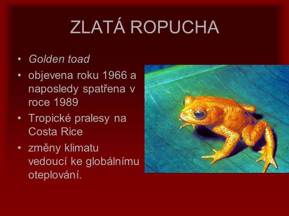 ZLATÁ ROPUCHA Golden toad objevena roku 1966 a naposledy spatřena v roce 1989 Tropické pralesy na Costa Rice změny klimatu vedoucí ke globálnímu otepl