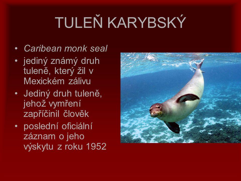 TULEŇ KARYBSKÝ Caribean monk seal jediný známý druh tuleně, který žil v Mexickém zálivu Jediný druh tuleně, jehož vymření zapříčinil člověk poslední o