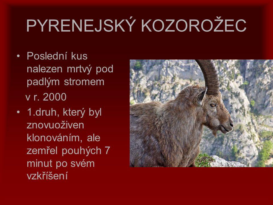 PYRENEJSKÝ KOZOROŽEC Poslední kus nalezen mrtvý pod padlým stromem v r. 2000 1.druh, který byl znovuoživen klonováním, ale zemřel pouhých 7 minut po s