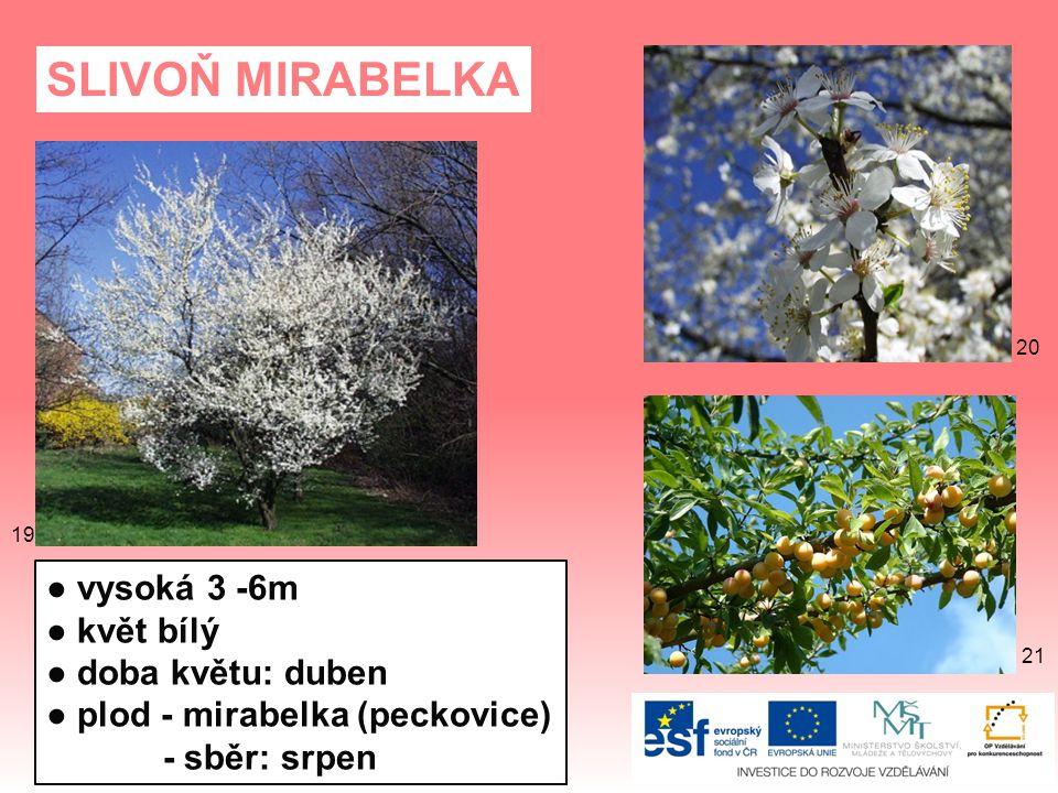 SLIVOŇ MIRABELKA ● vysoká 3 -6m ● květ bílý ● doba květu: duben ● plod - mirabelka (peckovice) - sběr: srpen 21 20 19