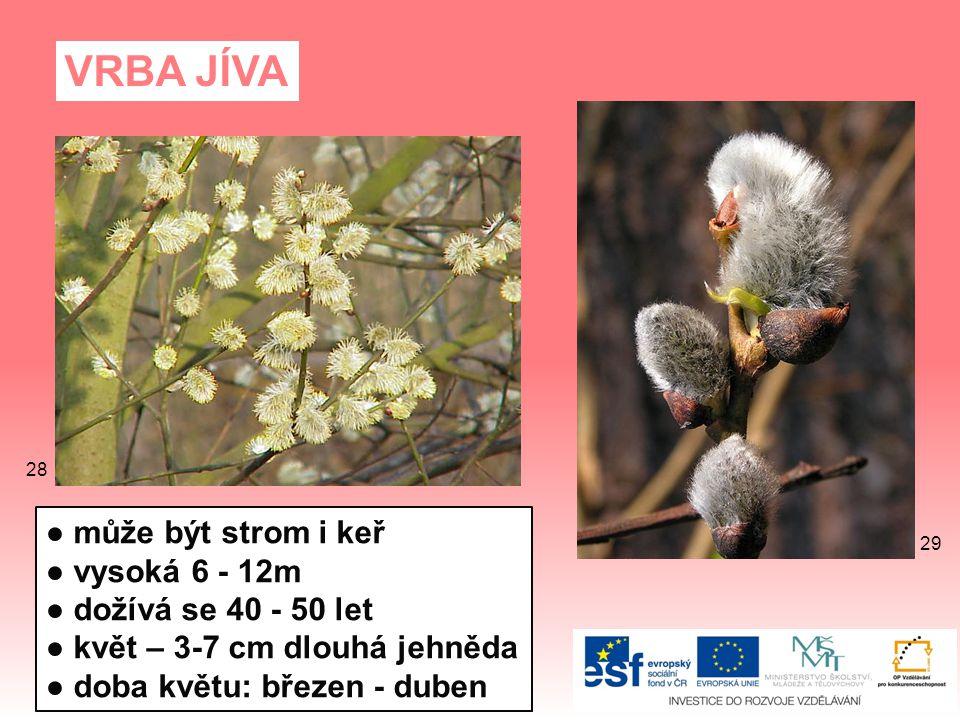 VRBA JÍVA ● může být strom i keř ● vysoká 6 - 12m ● dožívá se 40 - 50 let ● květ – 3-7 cm dlouhá jehněda ● doba květu: březen - duben 29 28