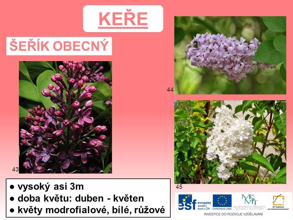 ŠEŘÍK OBECNÝ KEŘE ● vysoký asi 3m ● doba květu: duben - květen ● květy modrofialové, bílé, růžové 45 44 43