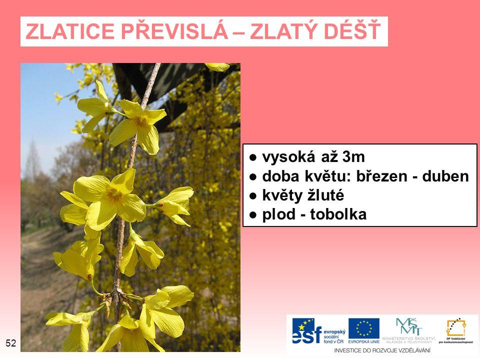 ZLATICE PŘEVISLÁ – ZLATÝ DÉŠŤ ● vysoká až 3m ● doba květu: březen - duben ● květy žluté ● plod - tobolka 52