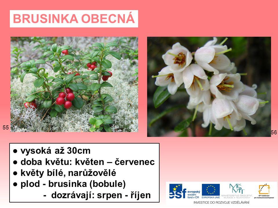 BRUSINKA OBECNÁ ● vysoká až 30cm ● doba květu: květen – červenec ● květy bílé, narůžovělé ● plod - brusinka (bobule) - dozrávají: srpen - říjen 56 55