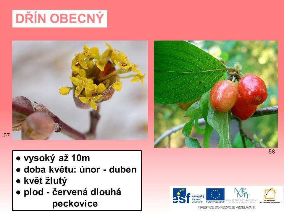 DŘÍN OBECNÝ ● vysoký až 10m ● doba květu: únor - duben ● květ žlutý ● plod - červená dlouhá peckovice 58 57