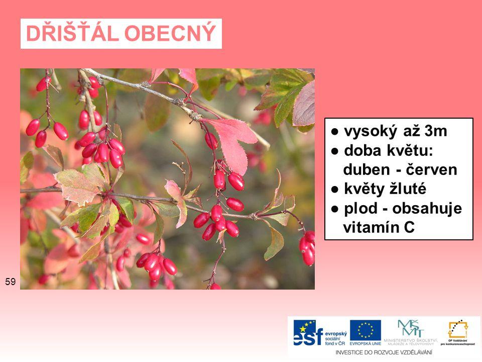 DŘIŠŤÁL OBECNÝ ● vysoký až 3m ● doba květu: duben - červen ● květy žluté ● plod - obsahuje vitamín C 59
