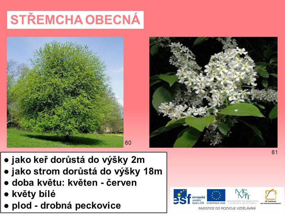 STŘEMCHA OBECNÁ ● jako keř dorůstá do výšky 2m ● jako strom dorůstá do výšky 18m ● doba květu: květen - červen ● květy bílé ● plod - drobná peckovice 61 60