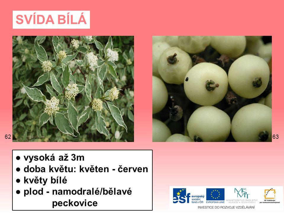 SVÍDA BÍLÁ ● vysoká až 3m ● doba květu: květen - červen ● květy bílé ● plod - namodralé/bělavé peckovice 6362