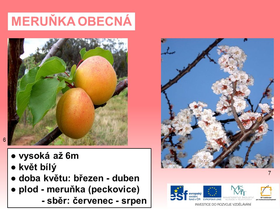MERUŇKA OBECNÁ ● vysoká až 6m ● květ bílý ● doba květu: březen - duben ● plod - meruňka (peckovice) - sběr: červenec - srpen 7 6