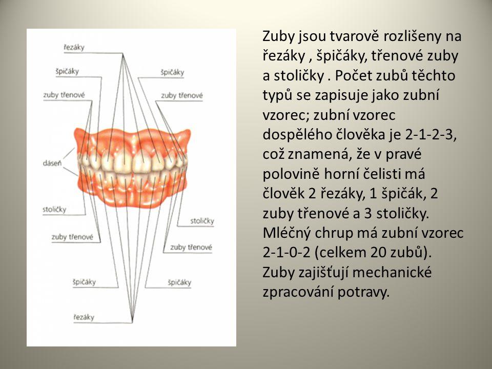 Zuby jsou tvarově rozlišeny na řezáky, špičáky, třenové zuby a stoličky. Počet zubů těchto typů se zapisuje jako zubní vzorec; zubní vzorec dospělého