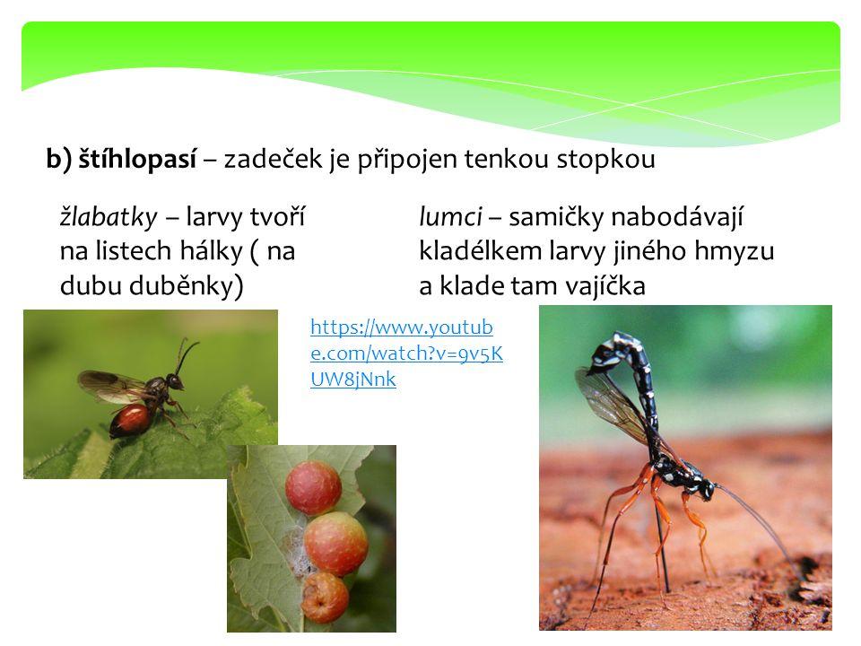 b) štíhlopasí – zadeček je připojen tenkou stopkou žlabatky – larvy tvoří na listech hálky ( na dubu duběnky) lumci – samičky nabodávají kladélkem lar