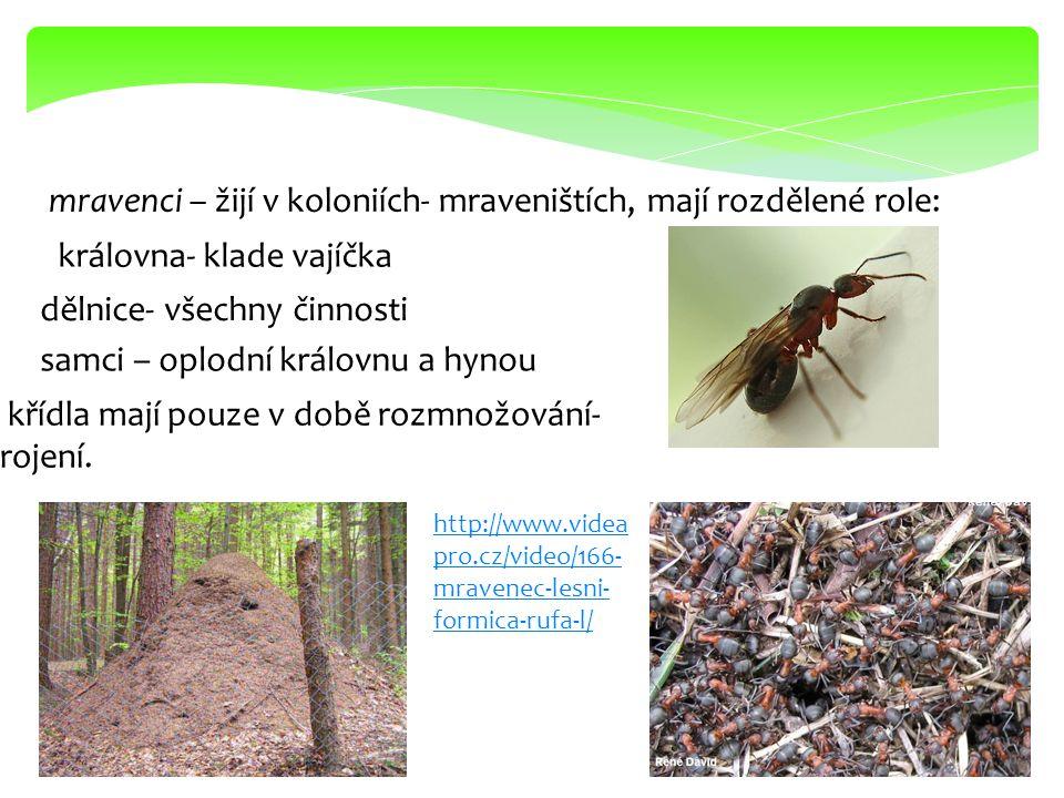 mravenci – žijí v koloniích- mraveništích, mají rozdělené role: královna- klade vajíčka dělnice- všechny činnosti samci – oplodní královnu a hynou kří