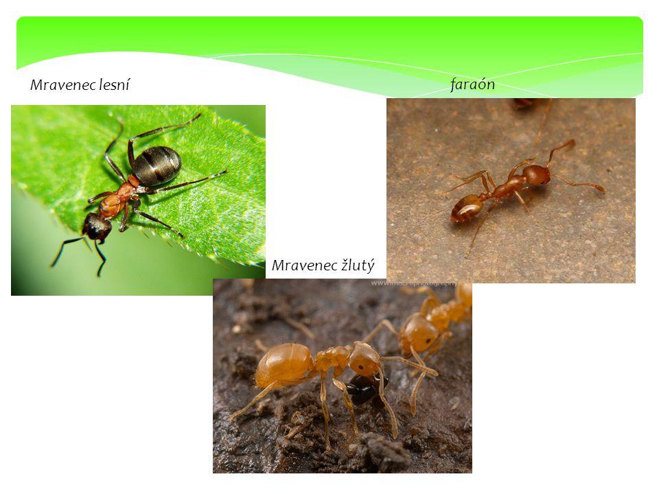 Mravenec lesní Mravenec žlutý faraón