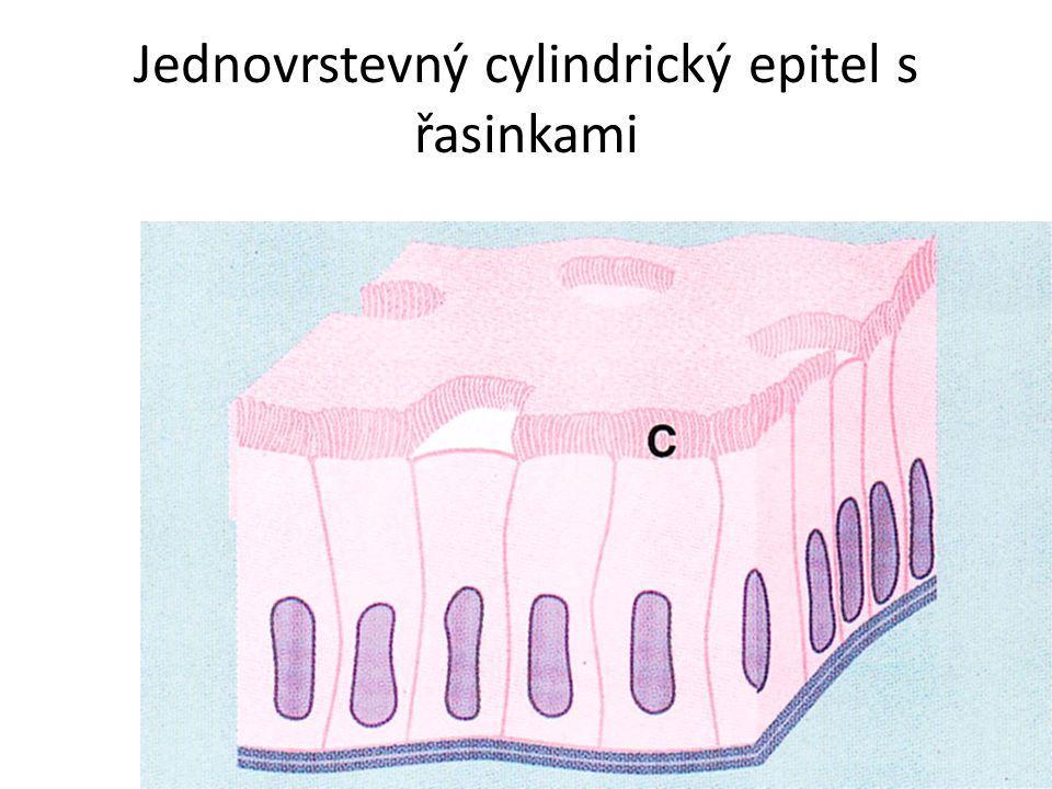 Jednovrstevný cylindrický epitel s řasinkami