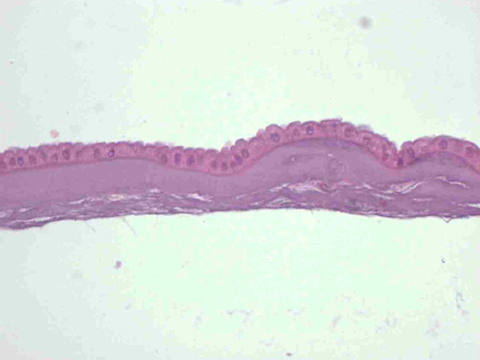 Polarita apikální povrch buňky – lumen orgánu, povrch orgánu bazální (bazolaterální) povrch buňky – bazální lamina naléhající na lamina propria