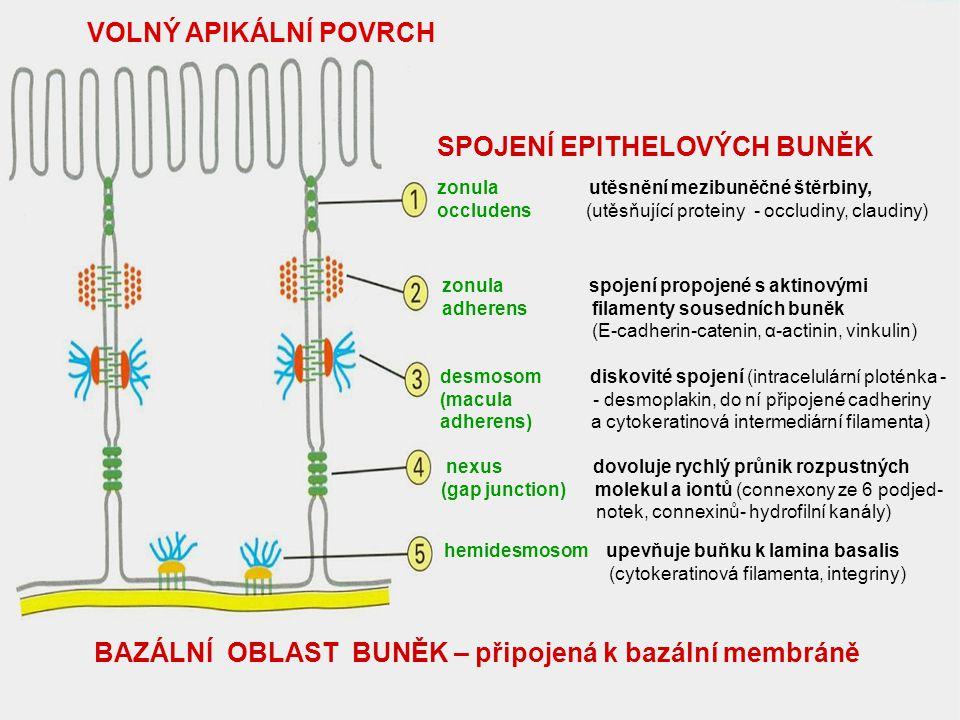 BAZÁLNÍ MEMBRÁNA ( termín se používá ve světelné mikroskopii ) Zajišťuje připojení epithelu k vazivu, selektivní bariéra, reguluje výměnu látek mezi epitelem a vazivem V elektronovém mikroskopu se tato extracelulární vrstva složená z glykoproteinů, proteinů a proteoglykanů označuje jako LAMINA BASALIS a podle elektrondenzity se rozlišuje lamina rara (světlá vrstva) a lamina densa (tmavá, elektrondenzní vrstva) Lamina lucida – pod epithelem, je tvořena extracelulárními konci integrinů (buněčné adhesivní molekuly bazální plasmalemy), které obsahují receptory pro laminin a fibronektin Lamina densa (elektrondenzní vrstva) obsahuje: lamininy, kolagen typu IV, entaktin a proteoglykany