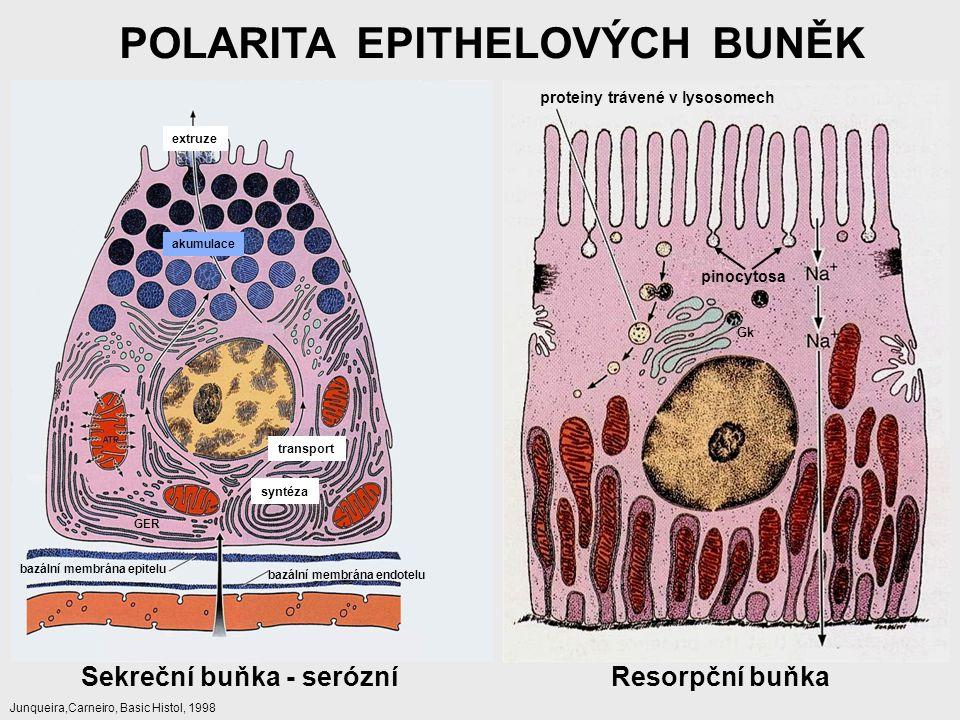 POLARITA EPITHELOVÝCH BUNĚK Sekreční buňka - serózníResorpční buňka akumulace extruze transport syntéza bazální membrána epitelu bazální membrána endo