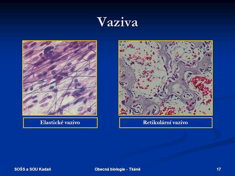 SOŠS a SOU Kadaň 16Obecná biologie - Tkáně Vaziva Kolagenní vazivoPodélná struktura šlachy – elastická a kolagenní vlákna