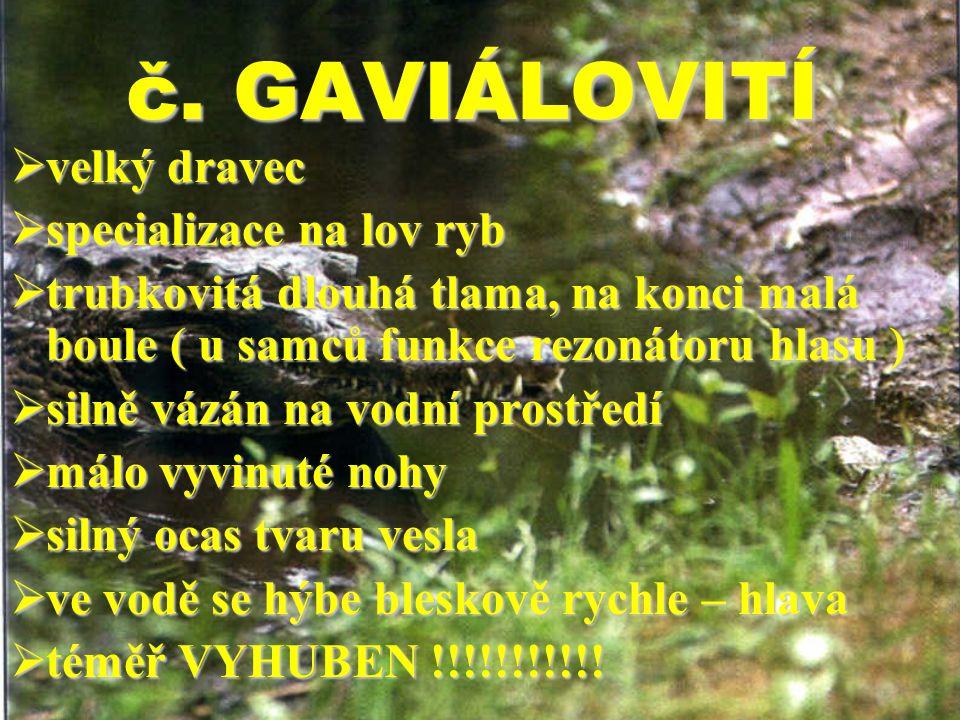 č. GAVIÁLOVITÍ  velký dravec  specializace na lov ryb  trubkovitá dlouhá tlama, na konci malá boule ( u samců funkce rezonátoru hlasu )  silně váz