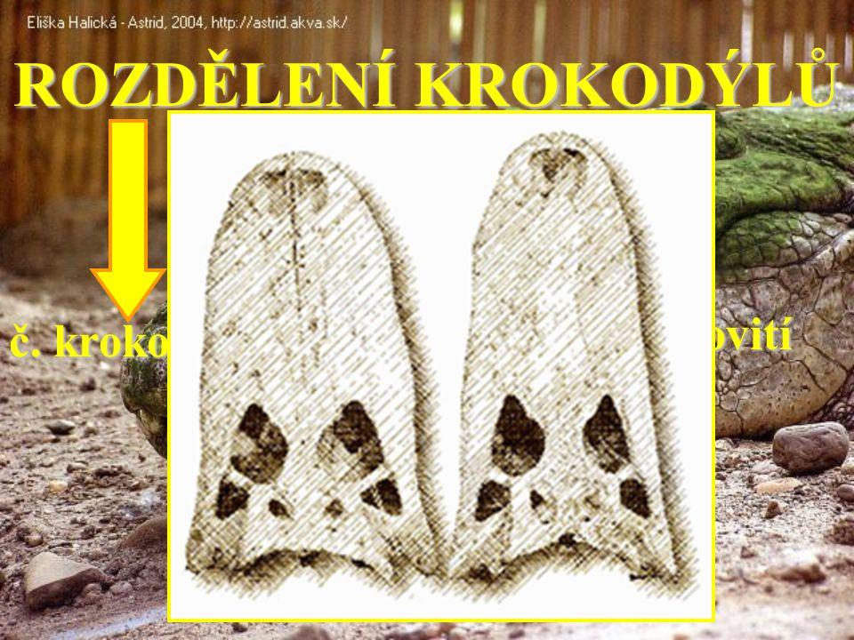ROZDĚLENÍ KROKODÝLŮ č. krokodýlovití č. aligátorovití č. gaviálovití