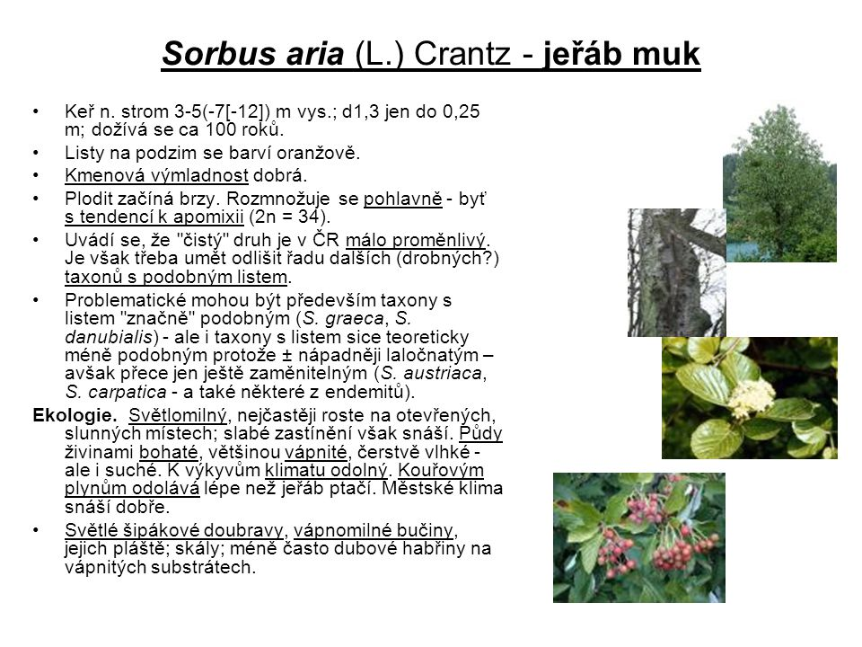 Sorbus aria (L.) Crantz - jeřáb muk Keř n. strom 3-5(-7[-12]) m vys.; d1,3 jen do 0,25 m; dožívá se ca 100 roků. Listy na podzim se barví oranžově. Km