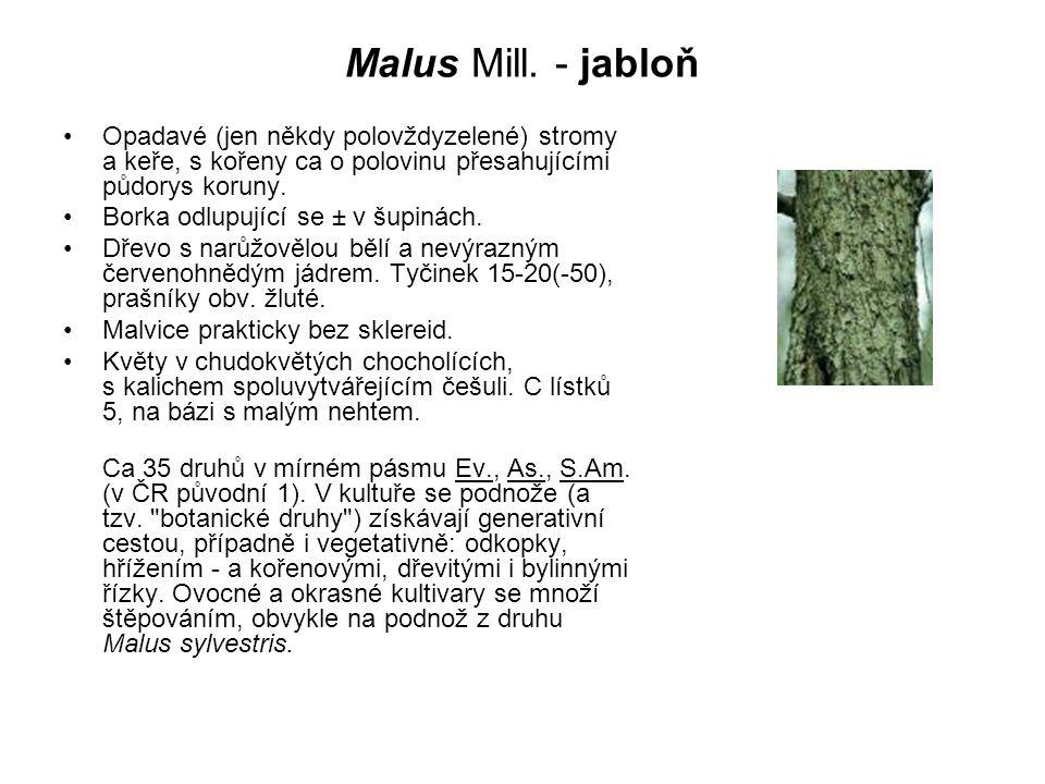 Malus Mill. - jabloň Opadavé (jen někdy polovždyzelené) stromy a keře, s kořeny ca o polovinu přesahujícími půdorys koruny. Borka odlupující se ± v šu
