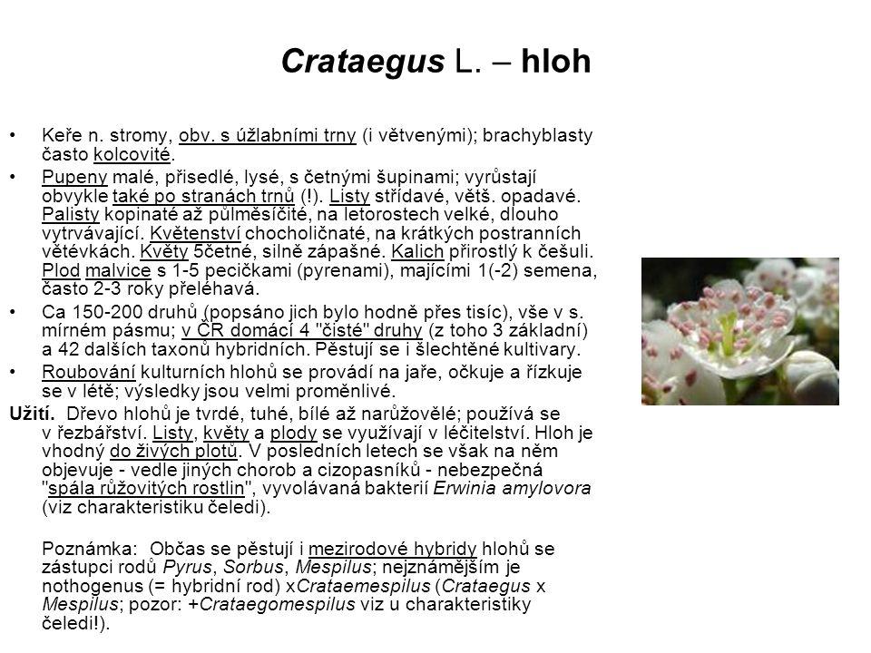 Crataegus L. – hloh Keře n. stromy, obv. s úžlabními trny (i větvenými); brachyblasty často kolcovité. Pupeny malé, přisedlé, lysé, s četnými šupinami
