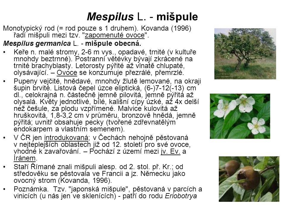 Mespilus L. - mišpule Monotypický rod (= rod pouze s 1 druhem). Kovanda (1996) řadí mišpuli mezi tzv.