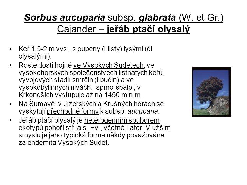 Sorbus aucuparia subsp. glabrata (W. et Gr.) Cajander – jeřáb ptačí olysalý Keř 1,5-2 m vys., s pupeny (i listy) lysými (či olysalými). Roste dosti ho