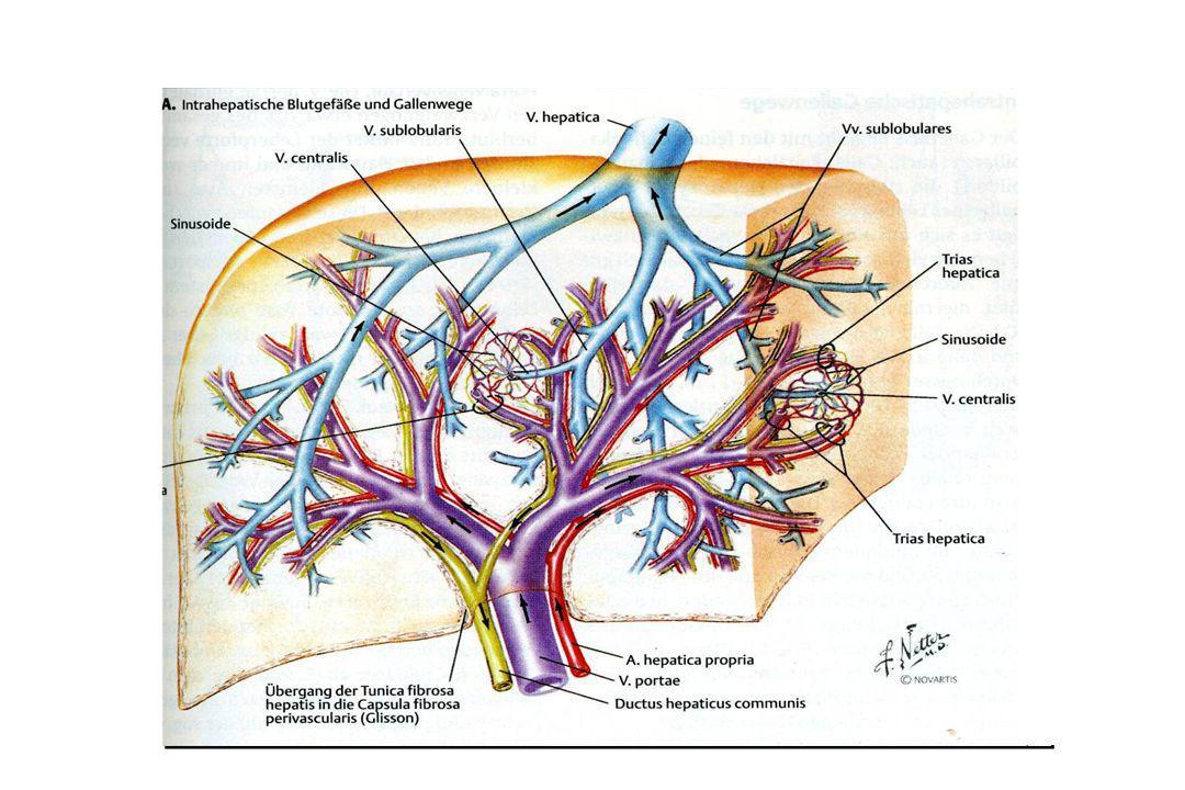 Jaterní buňky vysoká schopnost regenerace (ze zachovalých buněk) po resekci 50 – 60 % jaterní tkáně dorostou lidská játra do předoperační velikosti během několika měsíců (přesný mechanismus neznáme)