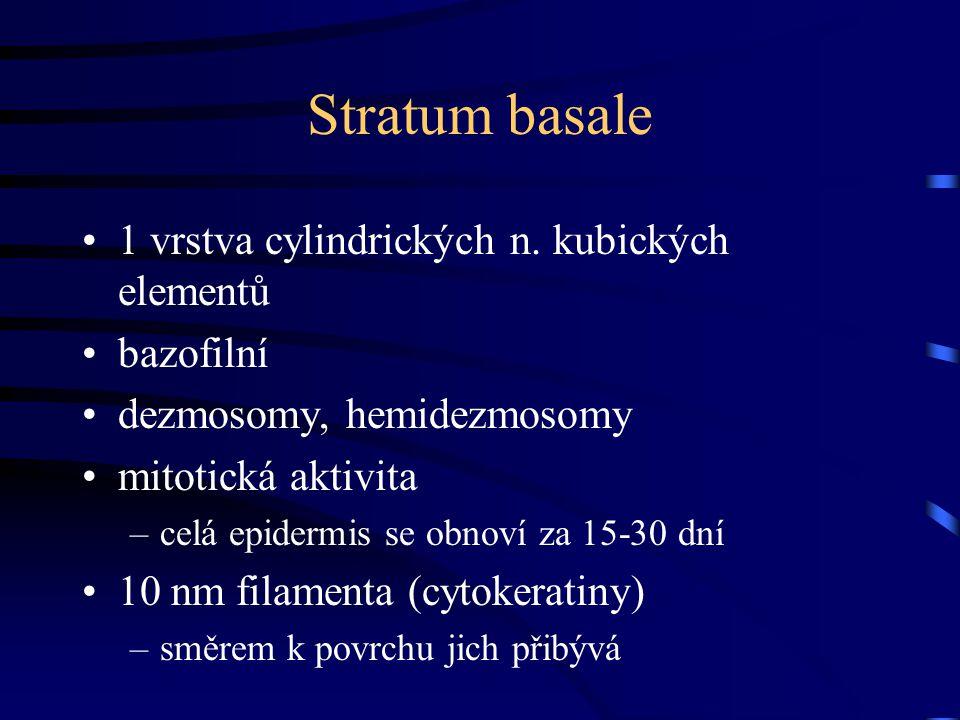 Stratum basale 1 vrstva cylindrických n. kubických elementů bazofilní dezmosomy, hemidezmosomy mitotická aktivita –celá epidermis se obnoví za 15-30 d