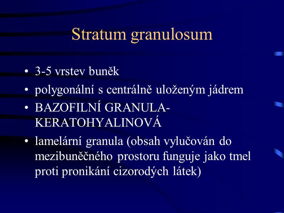 Stratum granulosum 3-5 vrstev buněk polygonální s centrálně uloženým jádrem BAZOFILNÍ GRANULA- KERATOHYALINOVÁ lamelární granula (obsah vylučován do m