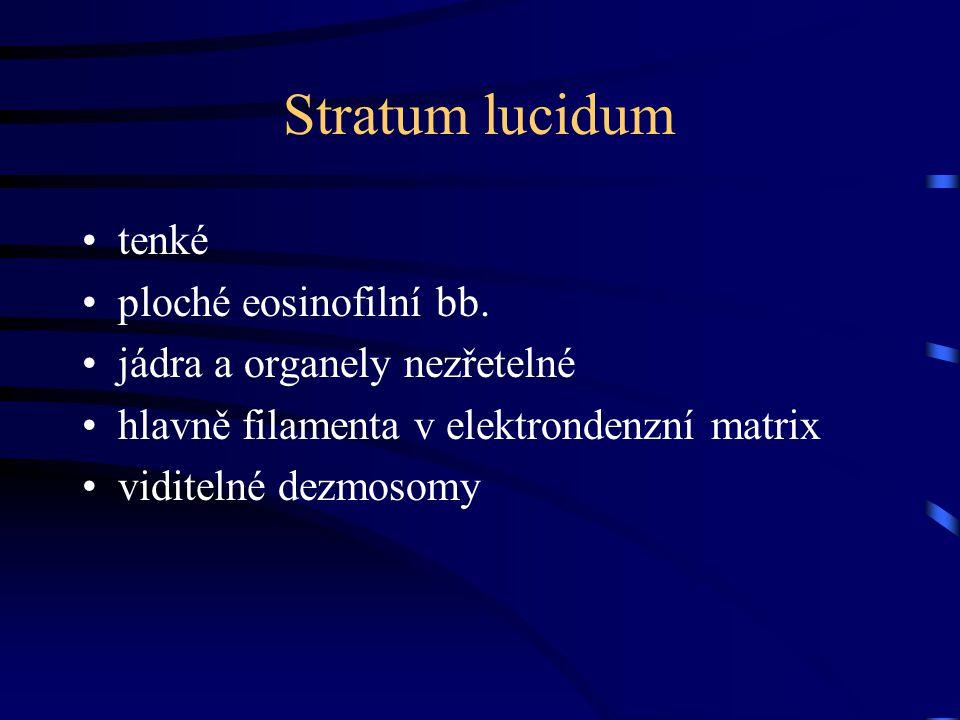 Stratum lucidum tenké ploché eosinofilní bb. jádra a organely nezřetelné hlavně filamenta v elektrondenzní matrix viditelné dezmosomy