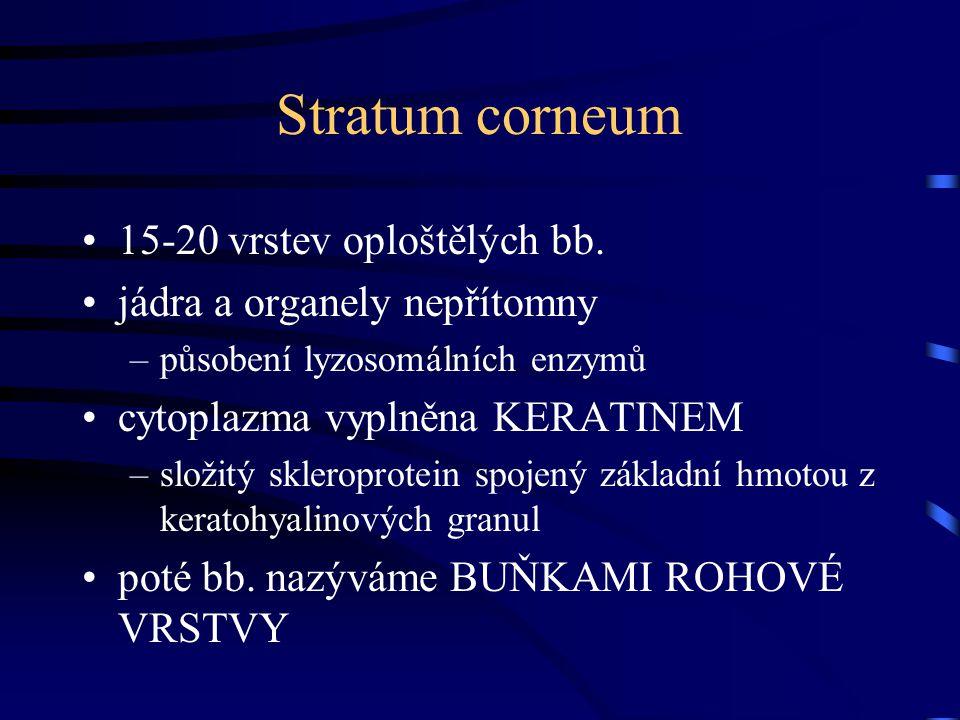 Stratum corneum 15-20 vrstev oploštělých bb. jádra a organely nepřítomny –působení lyzosomálních enzymů cytoplazma vyplněna KERATINEM –složitý sklerop