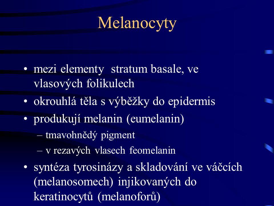 Melanocyty mezi elementy stratum basale, ve vlasových folikulech okrouhlá těla s výběžky do epidermis produkují melanin (eumelanin) –tmavohnědý pigmen