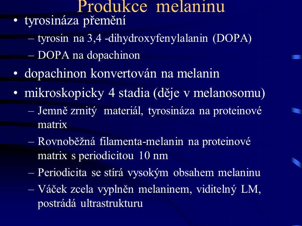 Produkce melaninu tyrosináza přemění –tyrosin na 3,4 -dihydroxyfenylalanin (DOPA) –DOPA na dopachinon dopachinon konvertován na melanin mikroskopicky