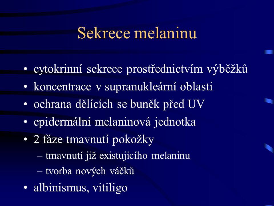 Sekrece melaninu cytokrinní sekrece prostřednictvím výběžků koncentrace v supranukleární oblasti ochrana dělících se buněk před UV epidermální melanin