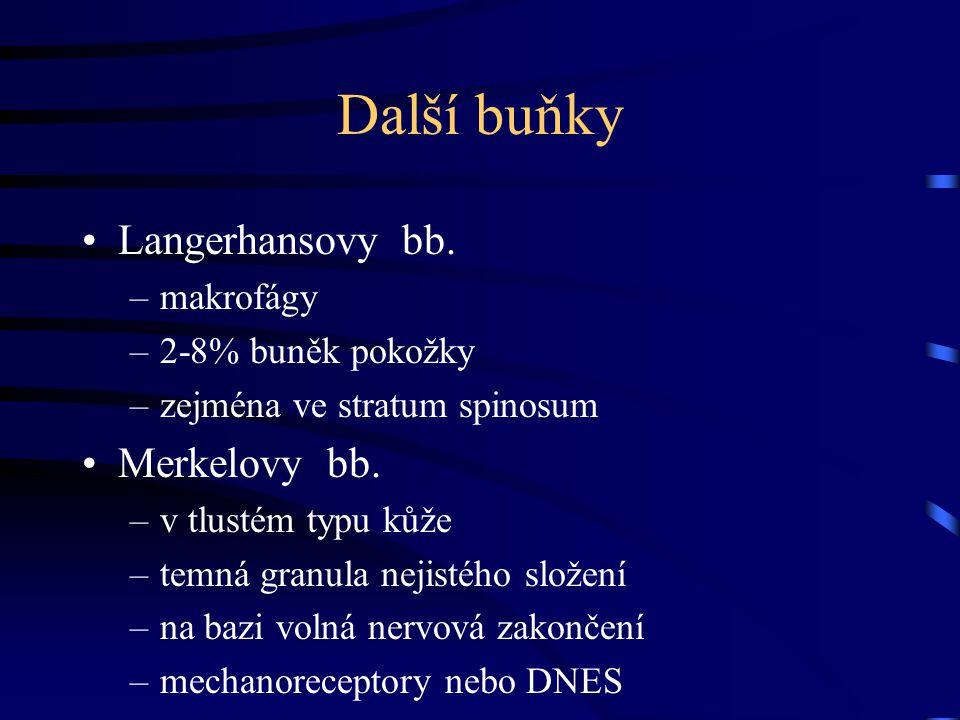 Další buňky Langerhansovy bb. –makrofágy –2-8% buněk pokožky –zejména ve stratum spinosum Merkelovy bb. –v tlustém typu kůže –temná granula nejistého
