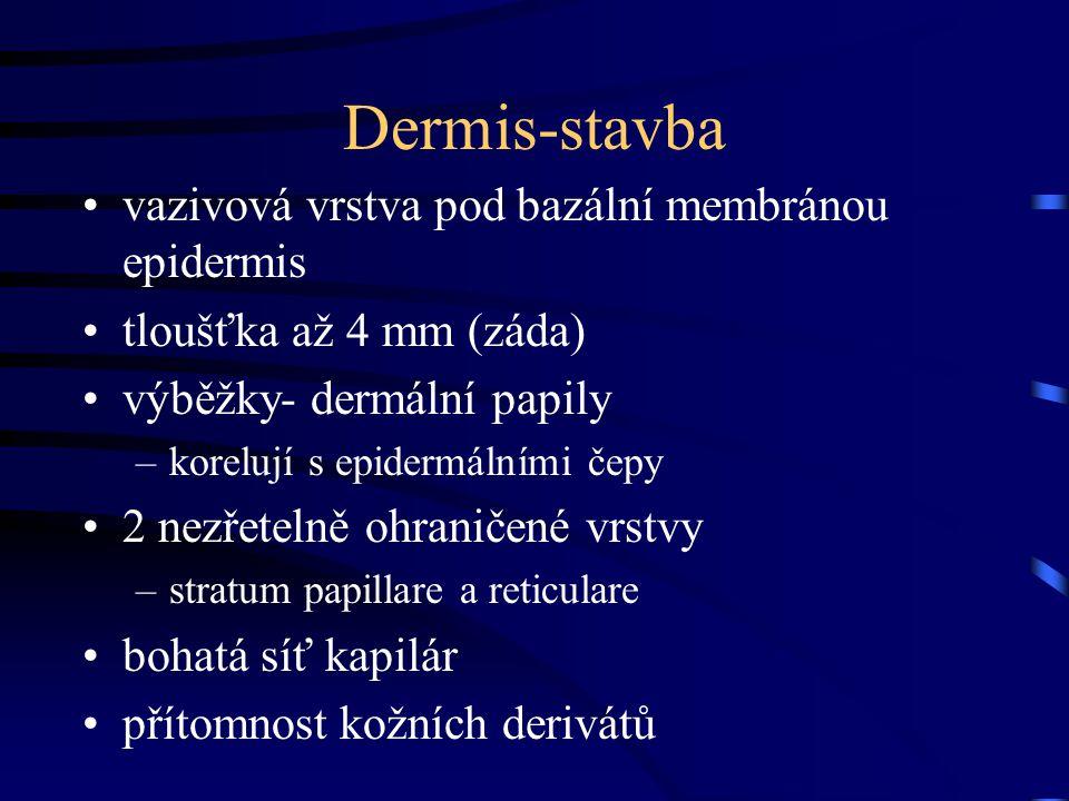 Dermis-stavba vazivová vrstva pod bazální membránou epidermis tloušťka až 4 mm (záda) výběžky- dermální papily –korelují s epidermálními čepy 2 nezřet