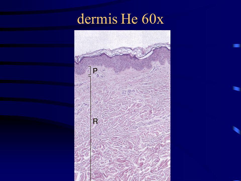 dermis He 60x