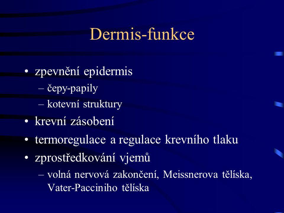 Dermis-funkce zpevnění epidermis –čepy-papily –kotevní struktury krevní zásobení termoregulace a regulace krevního tlaku zprostředkování vjemů –volná