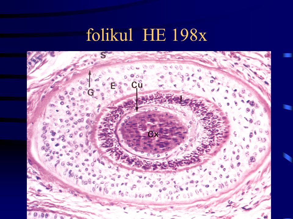 folikul HE 198x