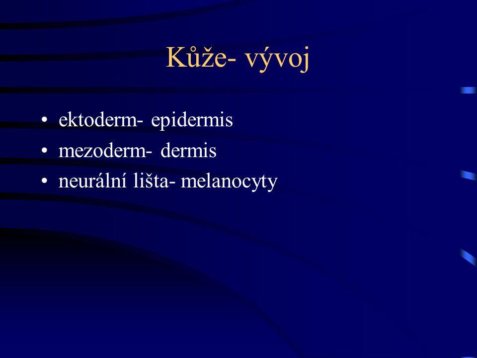 Kůže- vývoj ektoderm- epidermis mezoderm- dermis neurální lišta- melanocyty