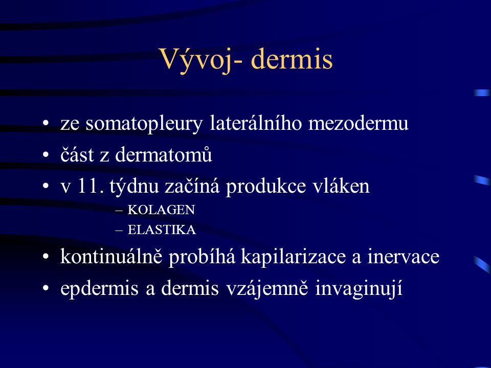 Vývoj- dermis ze somatopleury laterálního mezodermu část z dermatomů v 11. týdnu začíná produkce vláken –KOLAGEN –ELASTIKA kontinuálně probíhá kapilar