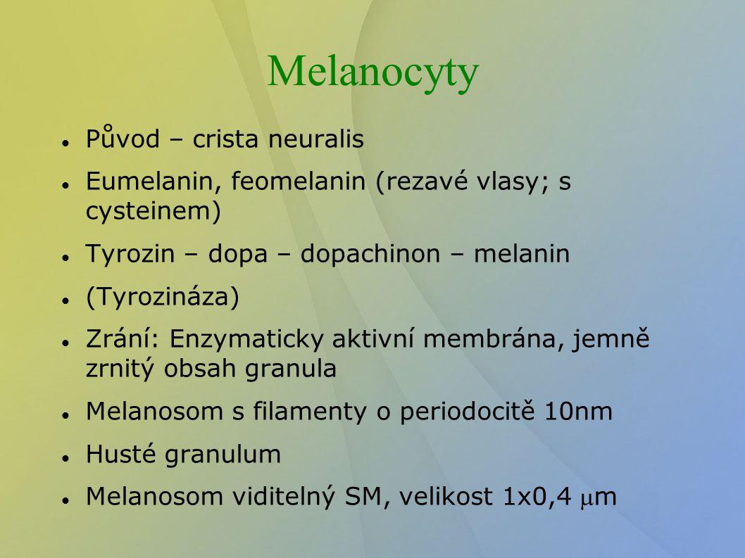 Melanocyty Původ – crista neuralis Eumelanin, feomelanin (rezavé vlasy; s cysteinem) Tyrozin – dopa – dopachinon – melanin (Tyrozináza) Zrání: Enzymat