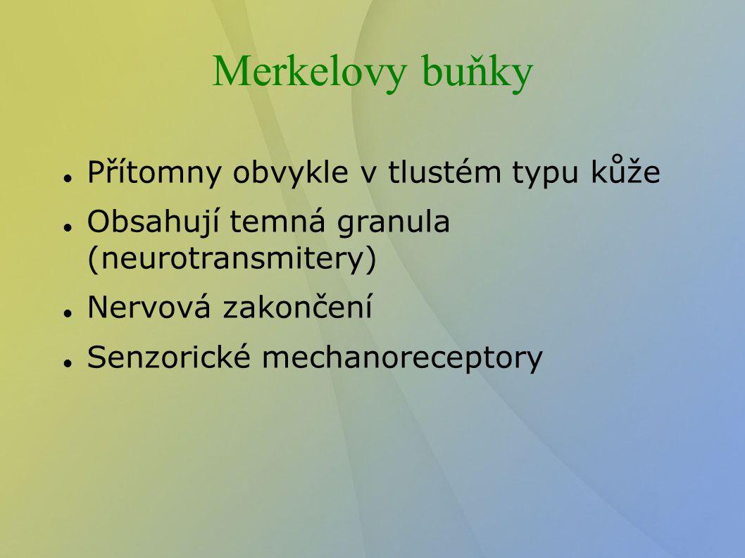 Merkelovy buňky Přítomny obvykle v tlustém typu kůže Obsahují temná granula (neurotransmitery) Nervová zakončení Senzorické mechanoreceptory