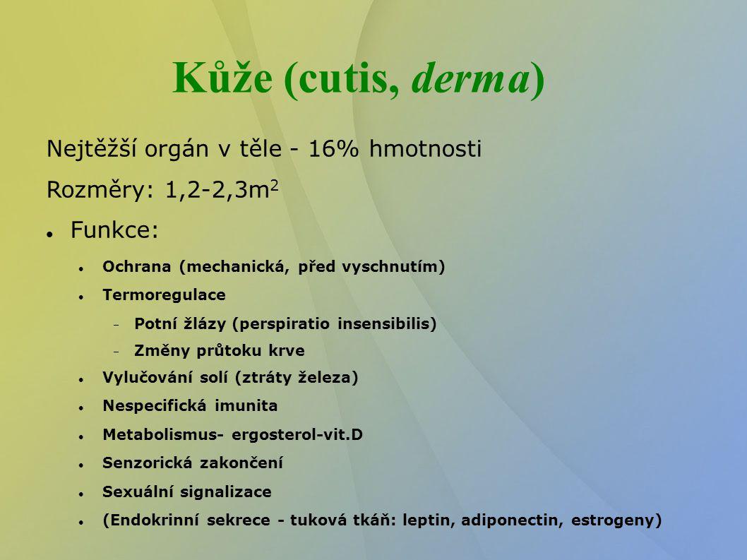 Vývoj kůže Ektoderm Periderm – 2 vrstvy – kubické bazální bb a ploché povrchové Mnohovrstevný dlaždicový epitel Žlázy včetně mléčné, nehty – vývoj z ektodermu invaginovaného do vaziva dermis