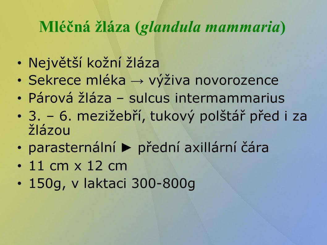 Mléčná žláza (glandula mammaria) Největší kožní žláza Sekrece mléka → výživa novorozence Párová žláza – sulcus intermammarius 3. – 6. mezižebří, tuko