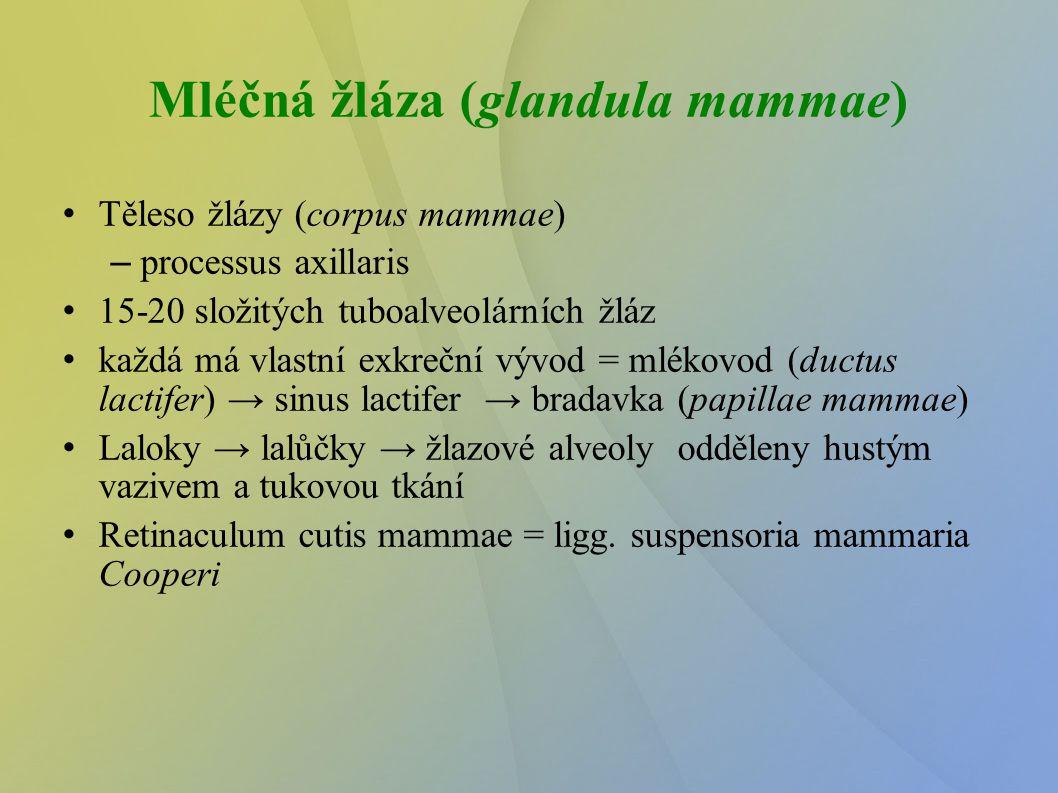 Mléčná žláza (glandula mammae) Těleso žlázy (corpus mammae) – processus axillaris 15-20 složitých tuboalveolárních žláz každá má vlastní exkreční vý